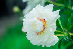 Peony. Blooming white peony after rain Royalty Free Stock Photography