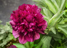 Peony blooms flower in garden Royalty Free Stock Photography