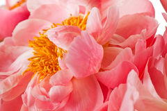 Peony Blossom isolated on a white background Stock Images