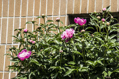 Peony blossom. In the morning Stock Photo
