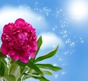 Peony blossom Stock Photography
