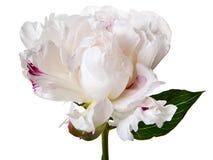 Peony Blossom on white background Stock Photos