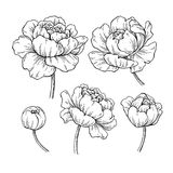Peony botanical drawing. Vector hand drawn engraved flower set. Blooming Peonies sketch. Black ink florals. Great for tattoo, invitations, greeting cards royalty free illustration