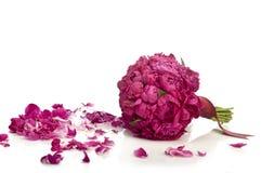 Peony bouquet Stock Image