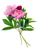 Peony bouquet isolated Stock Photography