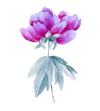 Peony on the branch. Isolated on white background. Royalty Free Stock Image