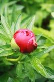 Peony bud. Blooming peony budafter rain close-up Stock Photos
