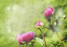 Peony bud on blurred garden background Royalty Free Stock Photography