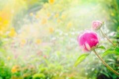 Peony bud on blurred sunny garden background Royalty Free Stock Image