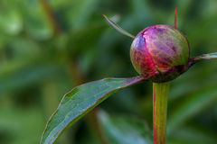 Peony bud on a green background Royalty Free Stock Photo
