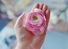 Peony Bud In Hand Royalty Free Stock Photos