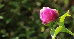 Peony, Bud, Peony Bud, Flower Stock Photos
