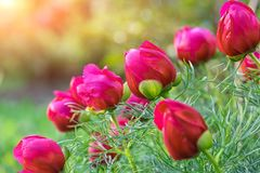 Peony bush Pink peonies bud. Close-up view Royalty Free Stock Images