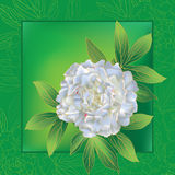 Peony card 1. Color pattern of white peony with leaves on a green background Royalty Free Stock Photography