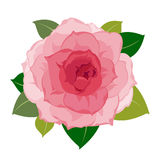 Peony close up Stock Images
