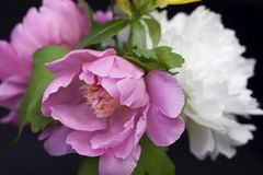 Peony Close-Up Royalty Free Stock Photography