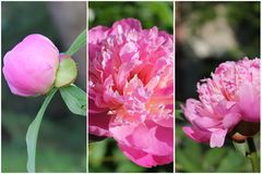 Peony collage Royalty Free Stock Photography