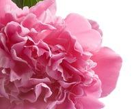 Peony cor-de-rosa fotos de stock royalty free