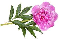 Peony cor-de-rosa Fotografia de Stock