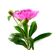 Peony cor-de-rosa fotografia de stock royalty free