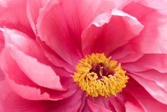 Peony cor-de-rosa da árvore imagens de stock royalty free