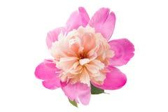 Peony cor-de-rosa isolado imagens de stock