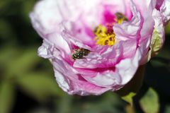 Peony cozy cradle for the furry beetle. stock photos