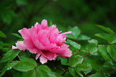 The peony with dew Royalty Free Stock Photo