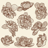 Peony drawings set Royalty Free Stock Image