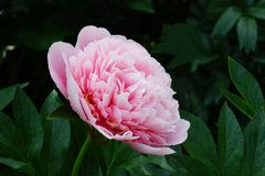 Peony Etched Salmon.  Double pink peony flower. Peony Etched Salmon. Double pink peony flower. Paeonia lactiflora, Chinese peony or common garden peony royalty free stock photos
