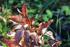 Peony fall leaves. Unusual Peony fall leaves at Moose Jaw Royalty Free Stock Photos