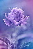 Peony floral background made with color filters in blue and purple tones Royalty Free Stock Image