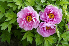 Peony flower Stock Images