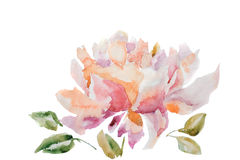 Peony flower. Watercolor illustration of peony flower Royalty Free Stock Image