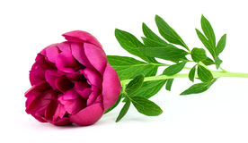 Peony flower Stock Photo