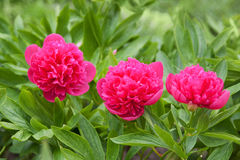 Peony flower Royalty Free Stock Photos