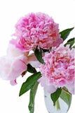 Peony flower Stock Photos