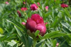 Peony flower. Red Peony flower Stock Photo