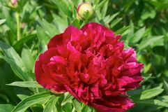 Peony flower. Red Peony flower Stock Photography