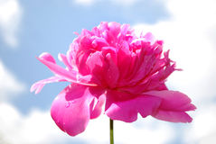 Peony flower Royalty Free Stock Photography