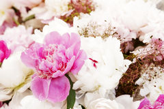 Peony flower background Royalty Free Stock Image