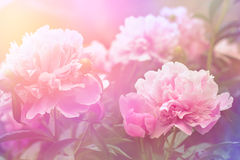 Peony flower background Stock Photo