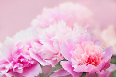 Peony flower background Royalty Free Stock Images