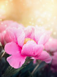 Peony flower on a background of sunlight Royalty Free Stock Photography