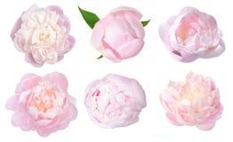 Peony flower. Beautiful peony flower isolated on white background stock illustration