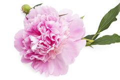 Peony flower. Beautiful pink peony flower, Paeonia lactiflora, isolated on white background stock photography