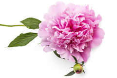 Peony flower. Beautiful pink peony flower, Paeonia lactiflora, isolated on white background royalty free stock photography