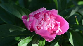 Peony flower bloom dew Stock Photography