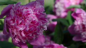 Peony flower bloom dew. Closeup of dewy red peony flower bloom covered with dew water drops move in wind stock video