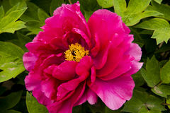 Peony flower. Blooming peony flowers of spring in the park, very beautiful Stock Photography